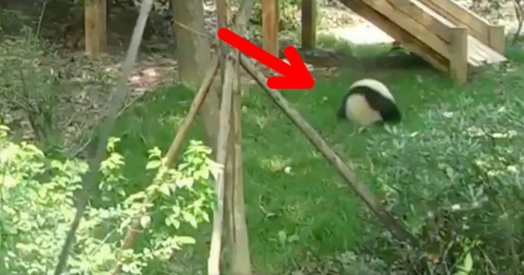 Un panda que solo quiere rodar y rodar