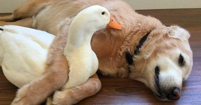 pato perro
