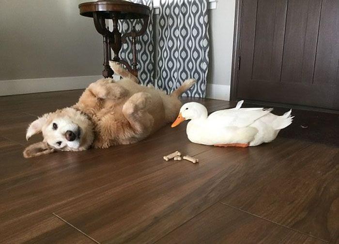 perro-pato6