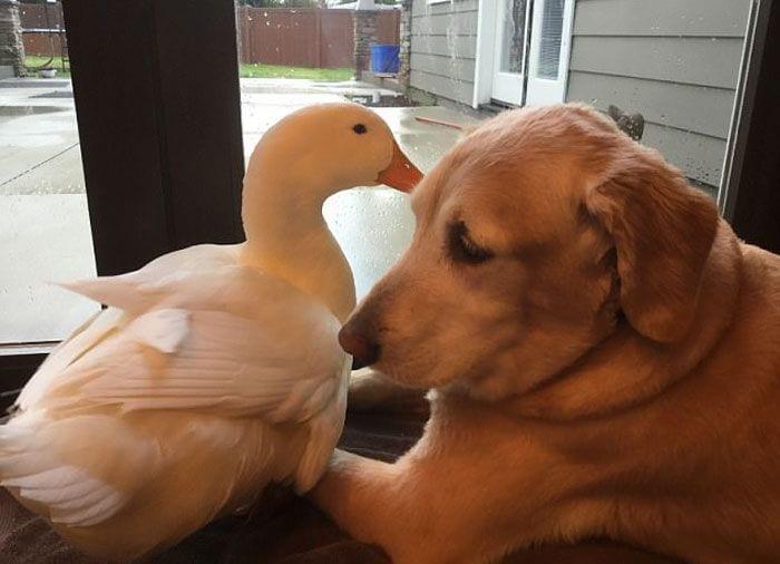 perro-pato9