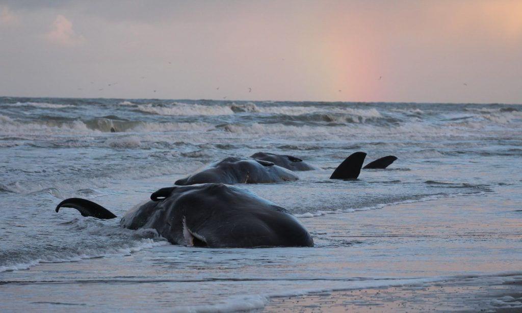 29 cachalotes muertos por el plástico