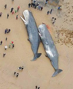 29 cachalotes aparecieron muertos 01