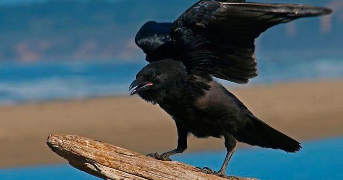 cuervos rencor 1