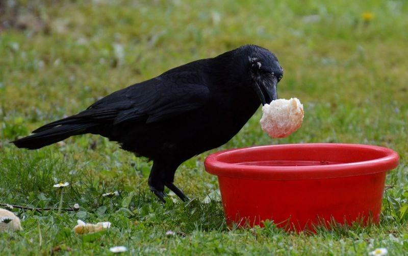 cuervos-rencor