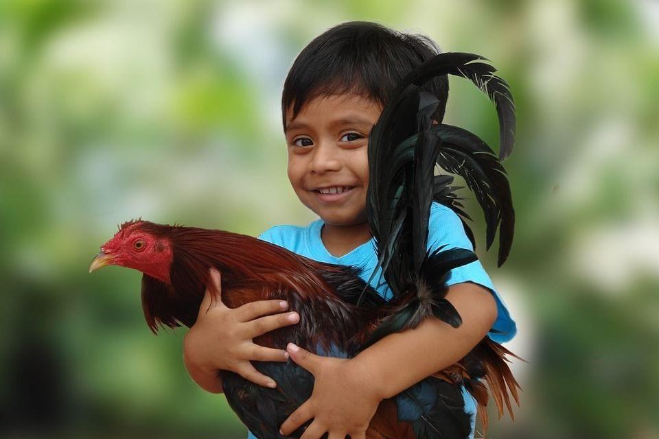 gallos-ley
