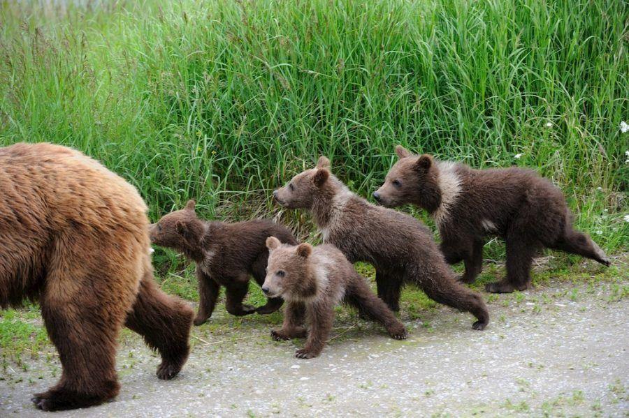 Estados Unidos permite la caza de Osos Grizzly 02