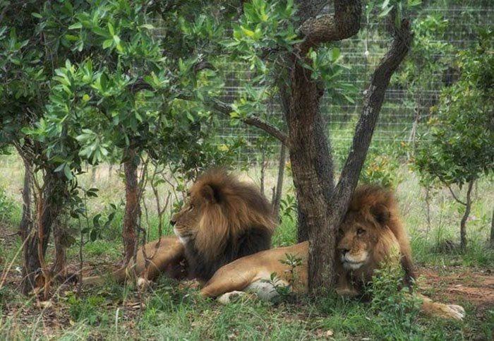 leones-asesinados1