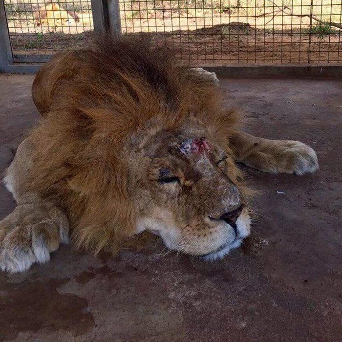 leones-asesinados2