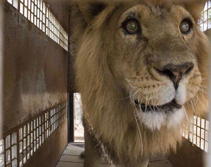 leones-asesinados3