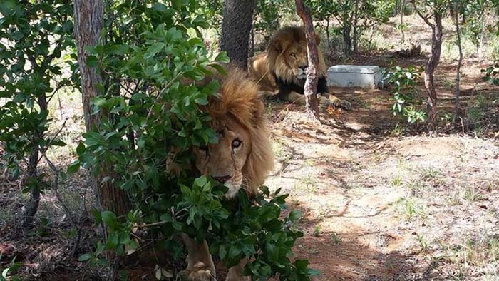 leones-asesinados7