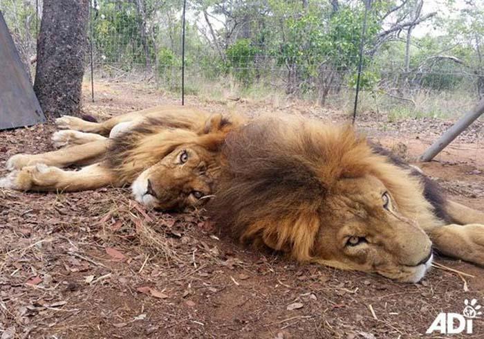 leones-asesinados8