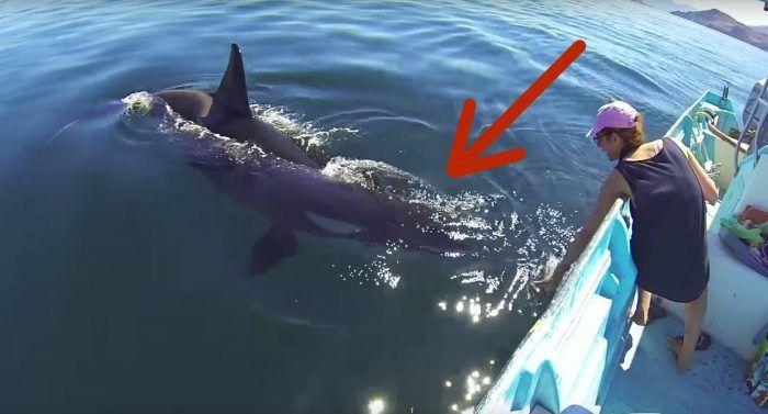orca juega con barco destacada