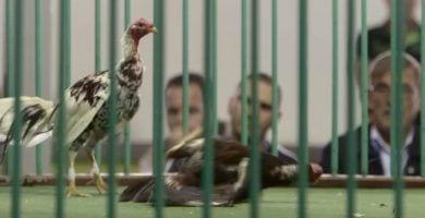 pelea gallos canarias destacada