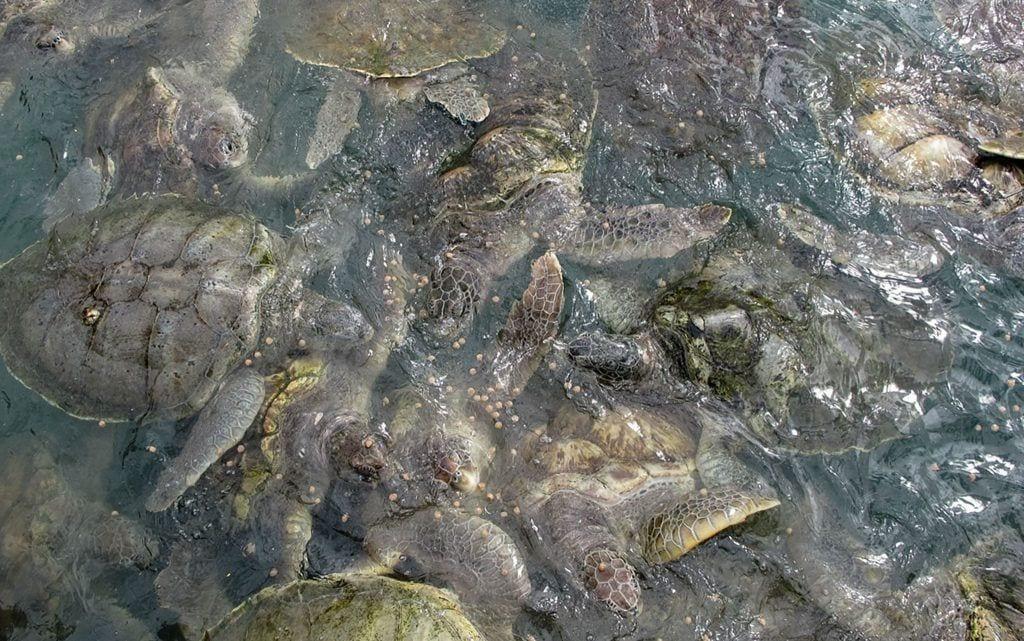 hogar-tortuga-marina-verde-es-granja 03
