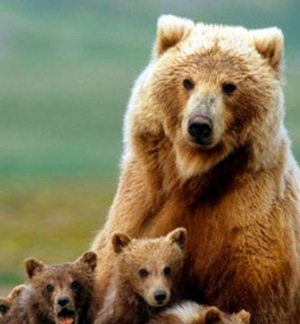usa permite cazar osos grizzly destacada
