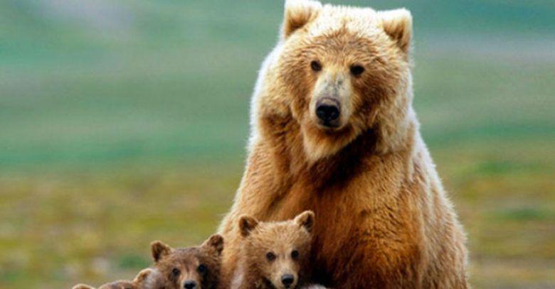 Estados Unidos permite la caza de Osos Grizzly