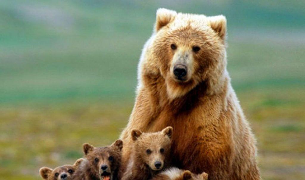 usa permite cazar osos grizzly destacada