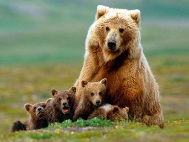 Usa permite la caza de osos grizzly