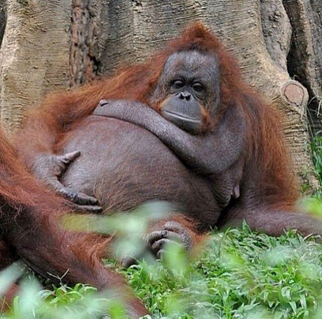 animales-embarazo-08