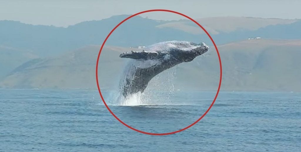 Graban saltos de una ballena de 40 toneladas
