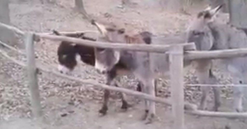 burro listo