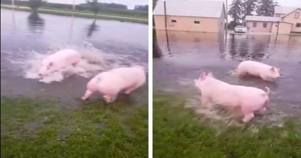 Estos cerditos jugando en el agua son la viva imagen de la felicidad