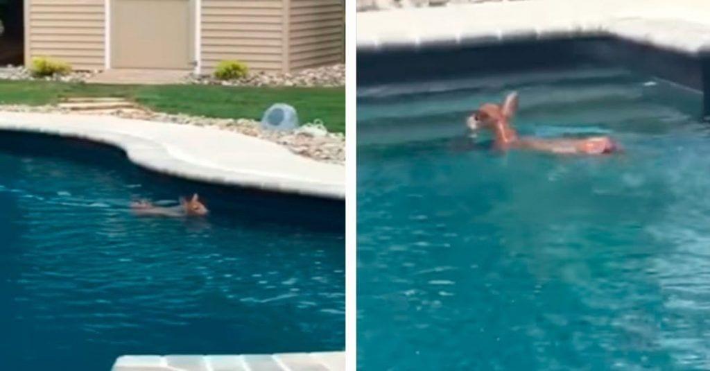 ciervo-piscina-destacada