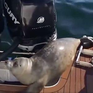Foca sube a barco huyendo de orcas