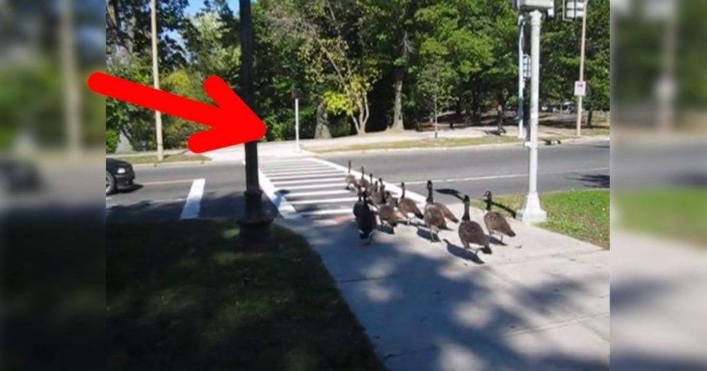 gansos cruzando calle