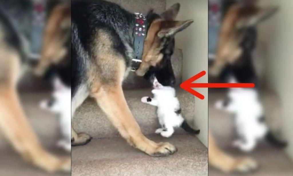 Un pastor alemán ayuda a un gato a subir las escaleras