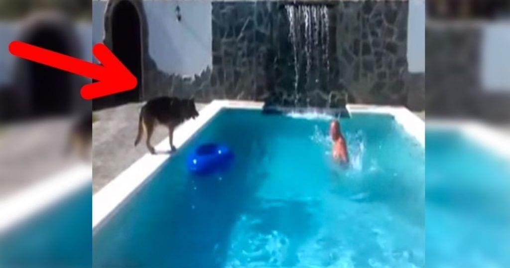 Mira la reacción de este perro cuando cree que su dueño se está ahogando en la piscina