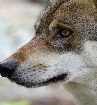 perros y lobos descendencia