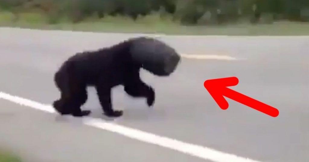 rescate oso destacada