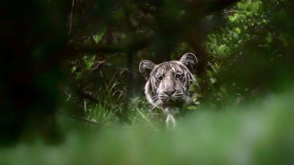 Fotografían a un tigre pálido en la India.
