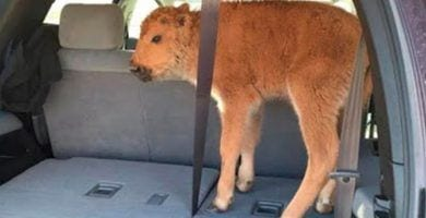 bisonte sacrificado