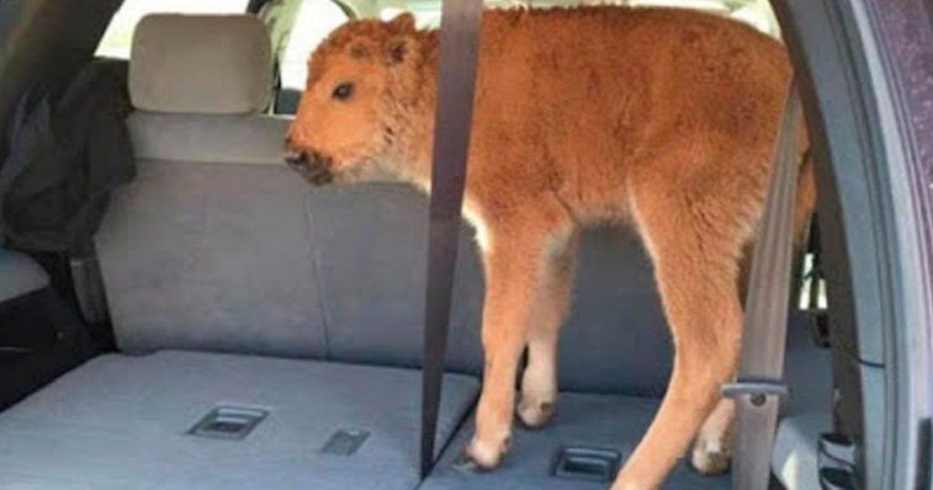 bisonte-sacrificado