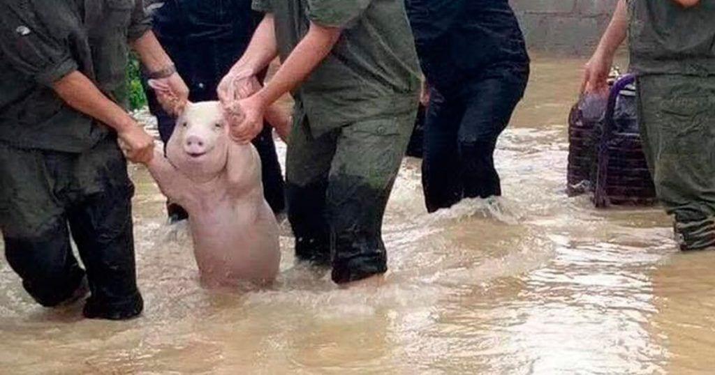 Cerdo sonríe cuando lo rescatan