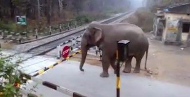 elefante listo