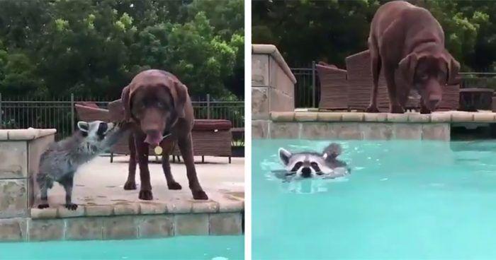 perro mapache piscina