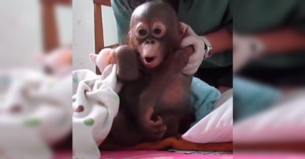 Consiguieron salvar la vida de este orangután tras pasar un año encerrado
