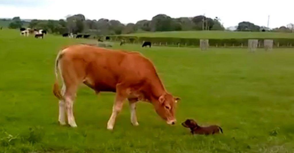vaca cachorro