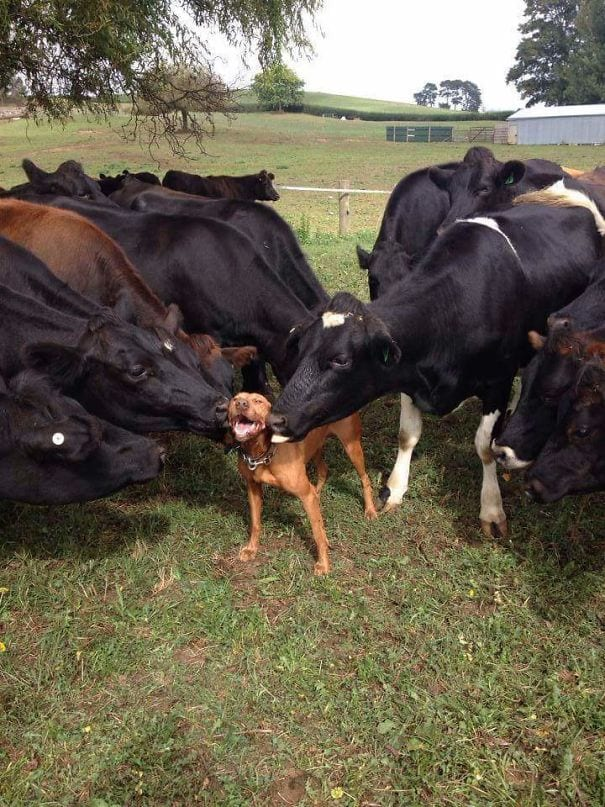 vacas-perros1