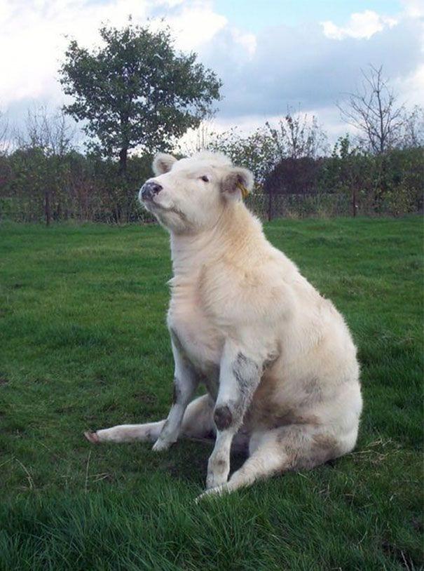 vacas-perros5