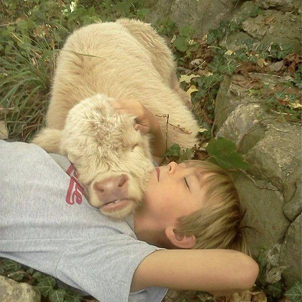 vacas-perros8