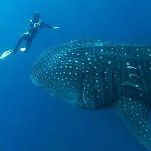 Buzos rescatan a un tiburón ballena