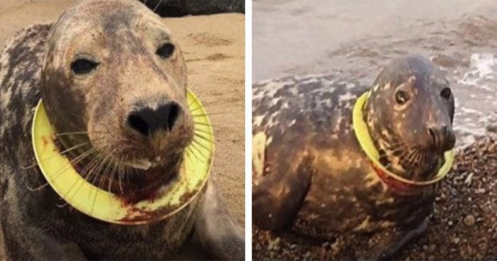 foca aro cuello