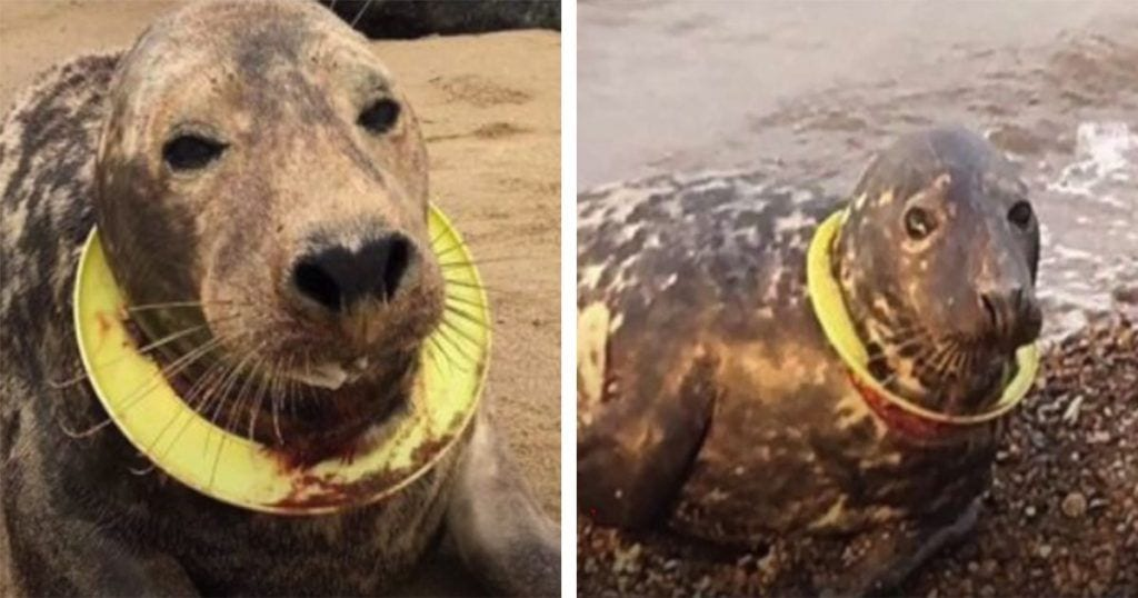 foca-aro-cuello