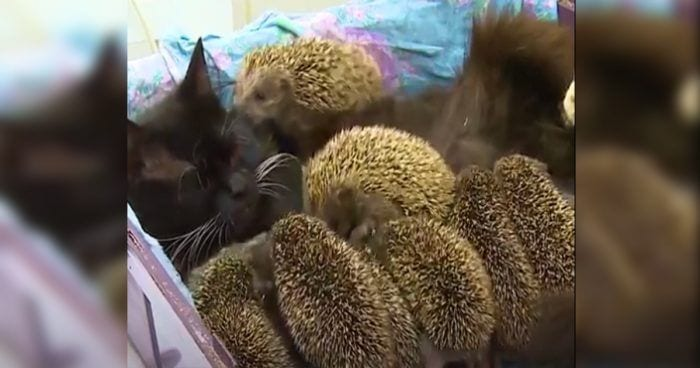 gato erizos