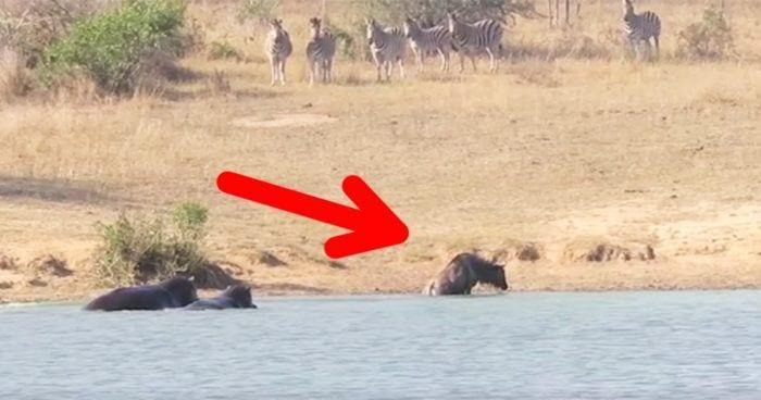 hipopotamos rescate