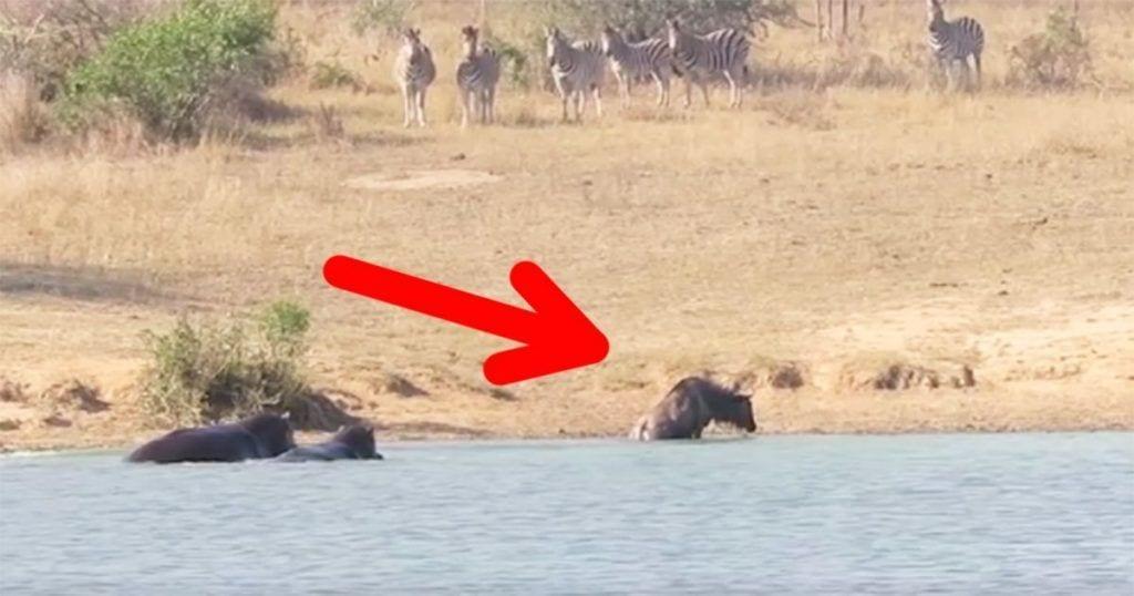 Dos hipopótamos salvan a un ñu de una muerte segura